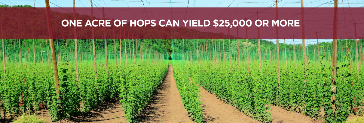 One acre of hops can yield $25,000 or more
